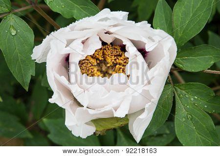 Opening flower of peony