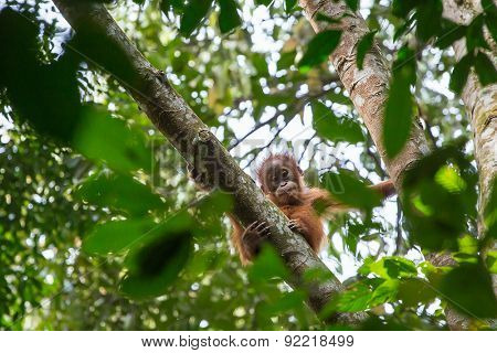 Cute baby hanging on a tree in Gunung Leuser National Park, Sumatra, Indonesia