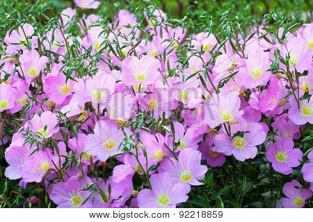 Vivid purple spring flowers