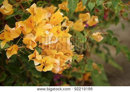 Yellow Bougainvillea In Nature At The Park