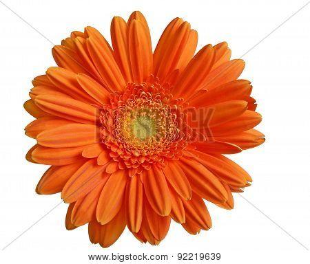 isolated orange gerber