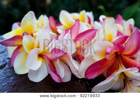 Plumeria Frangipani Hawaiian Lei