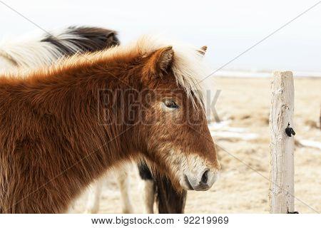 Portrait Of An Icelandic Pony With Blonde Mane