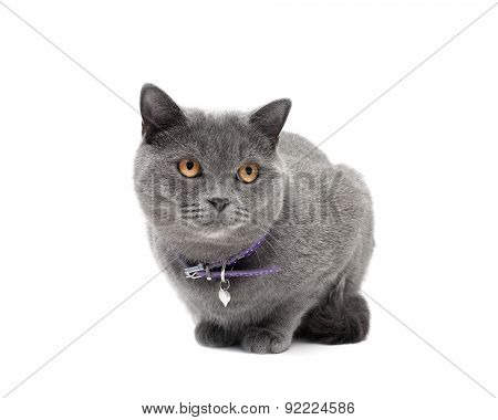 Cat With A Collar On A White Background Close-up