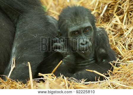 young gorilla sitting along side mum