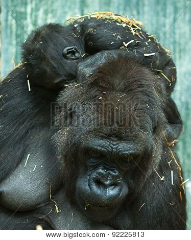 baby gorilla and mum