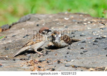 Eurasian tree sparrow. Sparrow pecks sunflower seeds. The adult bird and chick.
