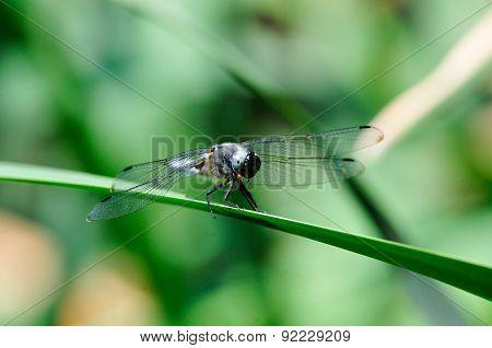 Dragonfly. Libellula depressa.