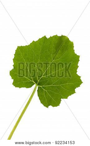 Close up image of courgette leaf on white
