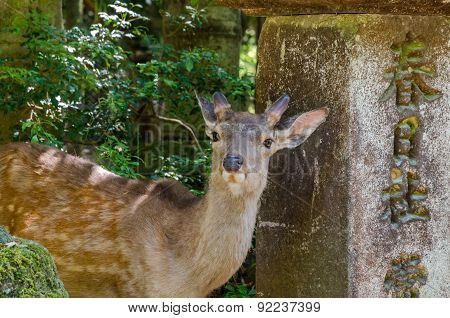 Deer In Kasuga Taisha In Nara, Japan