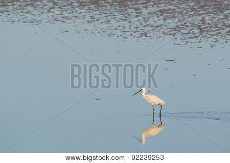 spoonbill searching for food in wadden sea