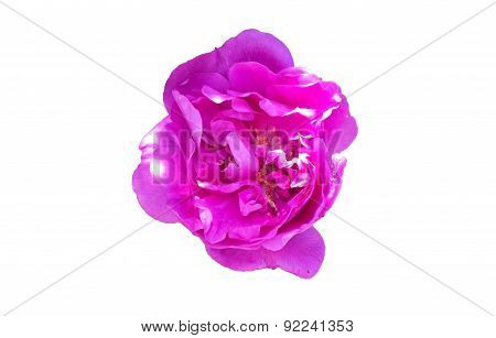 flower wild rose on a white background