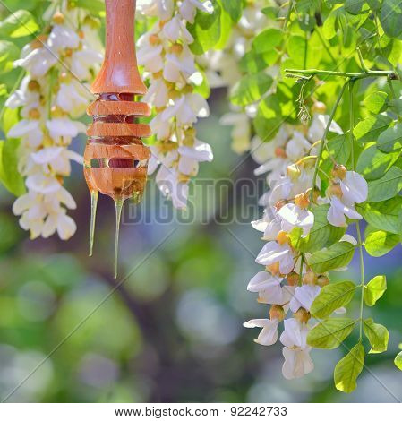Honey Dripping And Acacia Flowers