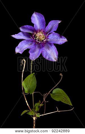 Closeup of single clematis flower isolated on black background