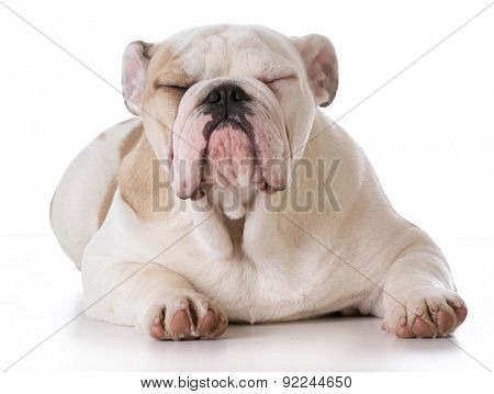 bulldog puppy laying down on white background