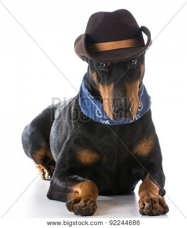 country dog - doberman pinscher dressed up with cowboy hat and bandanna on white background