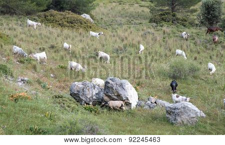 Wild Goat Animals