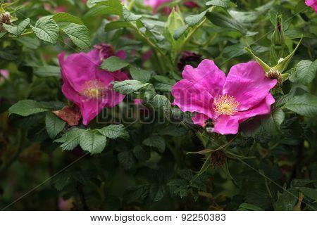 Flowers of dog-rose (Rosa canina).