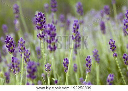 Detail of Lavender Flower on the field