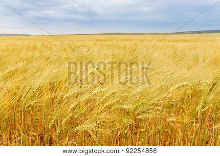 Yellow Grain Growing In A Farm Field.