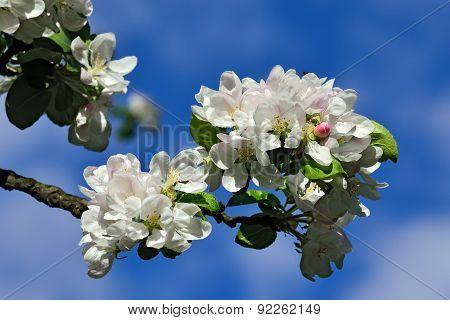 Spring. Apple Tree In Blossom