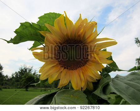 Mammoth sunflower with leaves against blue sky and clouds