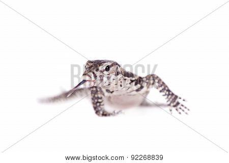 Timor Monitor Lizard, Varanus timorensis, on white