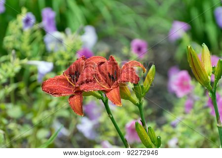 Pair Of Red Asiatic Lilies After A Rain