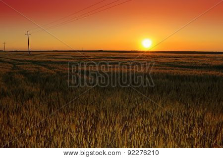 sunset in wheat field. summer landscape