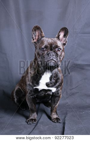 Cute French Bulldog In Studio