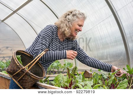 Senior Woman Picking Salad Greens In Her Greenhouse