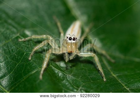small white spider