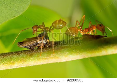 Close up of kind of insect and red ants