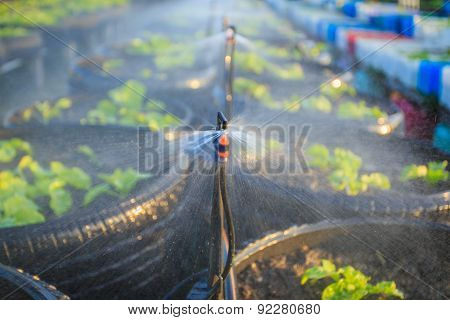 Watering System In Organic Vegetable Garden
