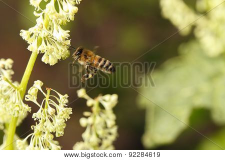 Flying Bee Pollinating Flower On Meadow