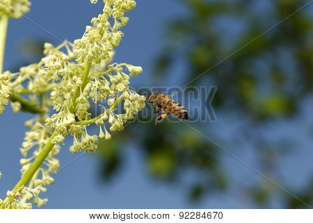 Flying Bee Pollinating Of Flower On Blue Sky