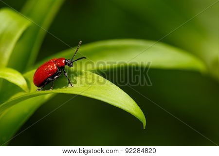 Red Scarlet Lily Beetle On Plant