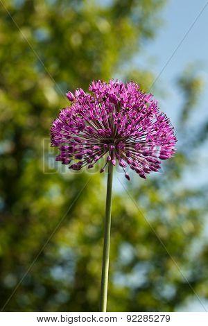 Giant Purple Allium Flower In  Garden