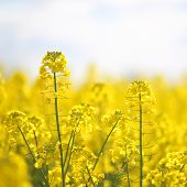 stock photo of rape  - Blooming yellow rape flowers - JPG
