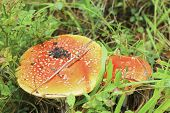 picture of fairy-mushroom  - Red toadstool mushroom growing in autumnal forest - JPG