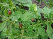picture of larva  - the larva of the Colorado potato beetle eating a green potato leaves