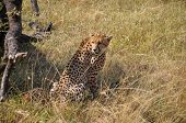 stock photo of cheetah  - Cheetah resting in the shade in African savanna - JPG
