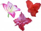image of gladiolus  - illustration with gladiolus flowers isolated on white background - JPG