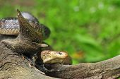 foto of tree snake  - Photo of aesculapian snake on a tree stump - JPG