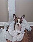 foto of innocence  - Silly French Bulldog puppy sitting in a pile of unrolled toilet paper with an innocent look on his face - JPG