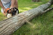 picture of kneeling  - A man kneels in the grass while cutting a fallen locust tree trunk into smaller logs - JPG