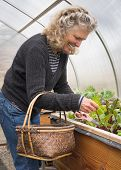 stock photo of gathering  - Pretty senior woman gathering salad greens in a basket in her greenhouse garden - JPG