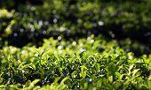 image of darjeeling  - Close up fresh tea leaves in morning sunlight - JPG