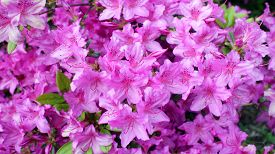 stock photo of azalea  - a bush azalea flower in garden in spring season - JPG