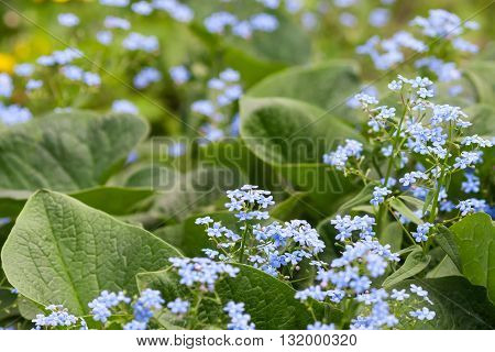 Fresh beautiful blue forget-me-not flowers myosotis background